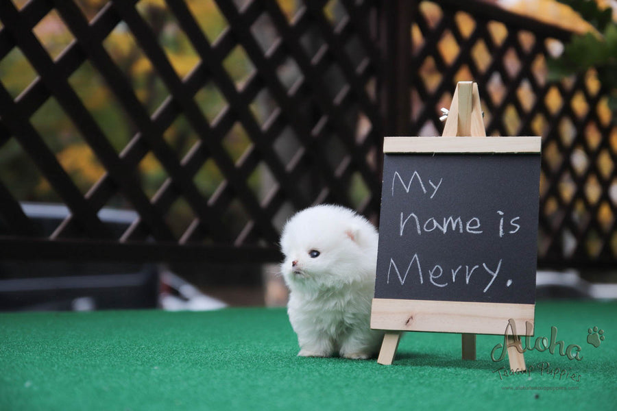 Sold to Diana, MERRY [TEACUP POMERANIAN]