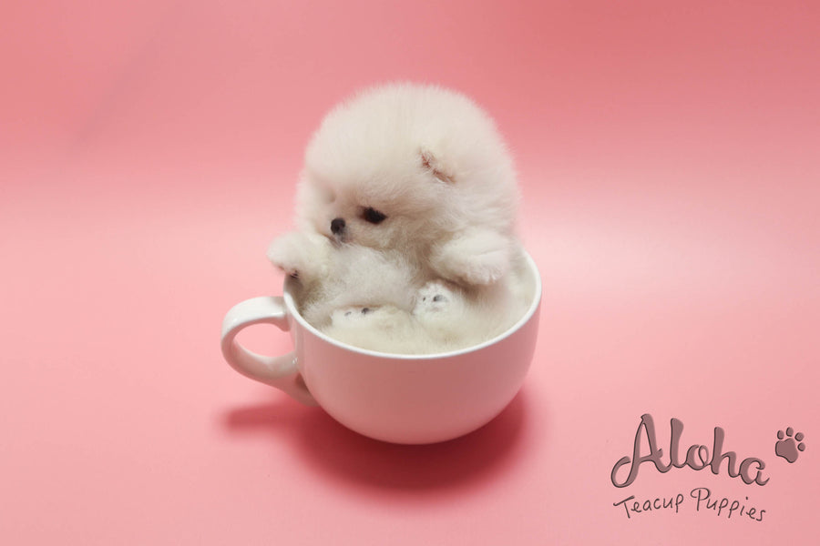 Sold to Hussien, BOO [TEACUP POMERANIAN]