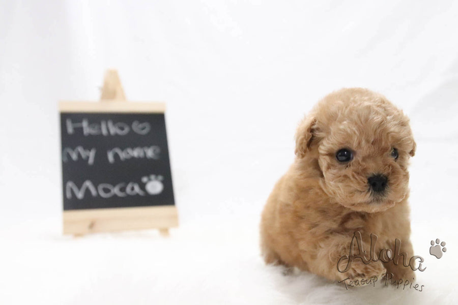 Sold to Iilana, Moca - [Poodle]
