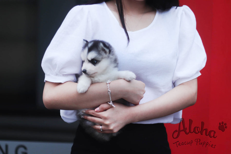 Sold to Maytinee, Shark [TEACUP POMSKY]