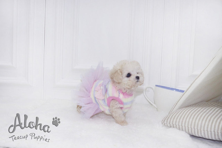 Sold to Mridu, Vanilla [Teacup Poodle]
