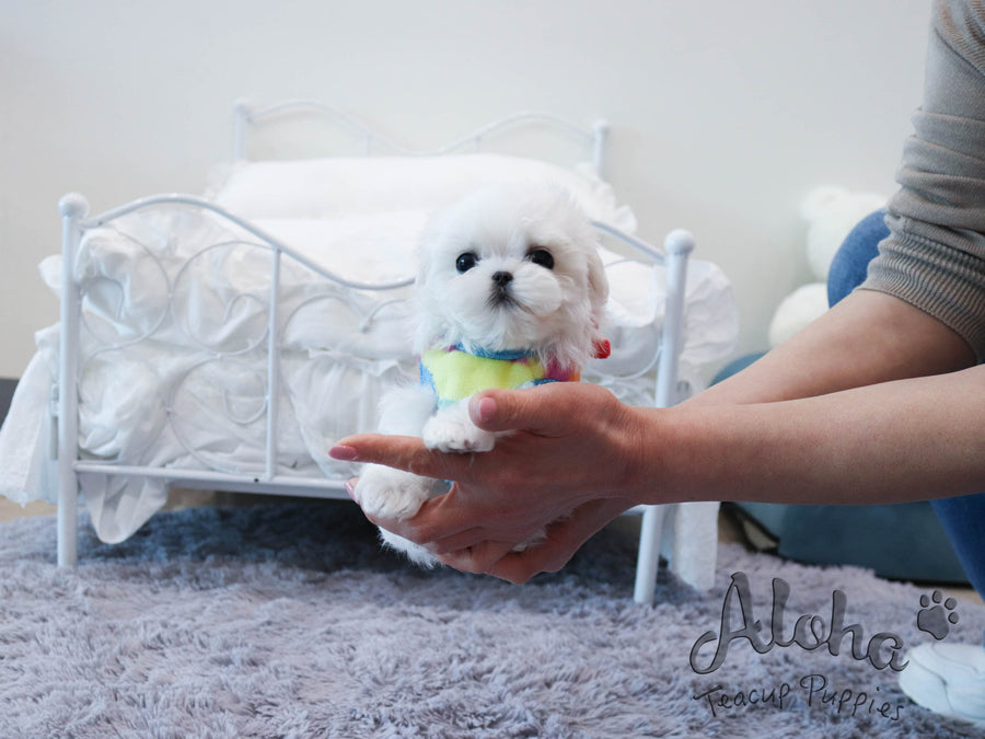 Milk [TEACUP MALTESE]