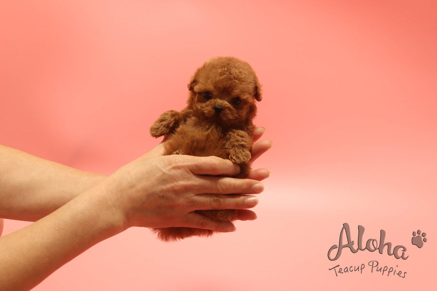 Sold to Brandon, BAMBI [TEACUP POODLE]