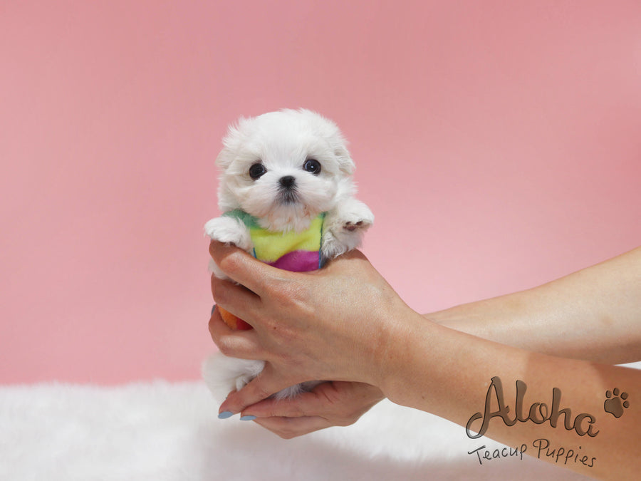 Bubble [TEACUP MALTESE]