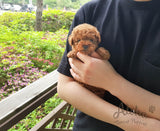 Sold to Ana, CHEESE - [Teacup Poodle]