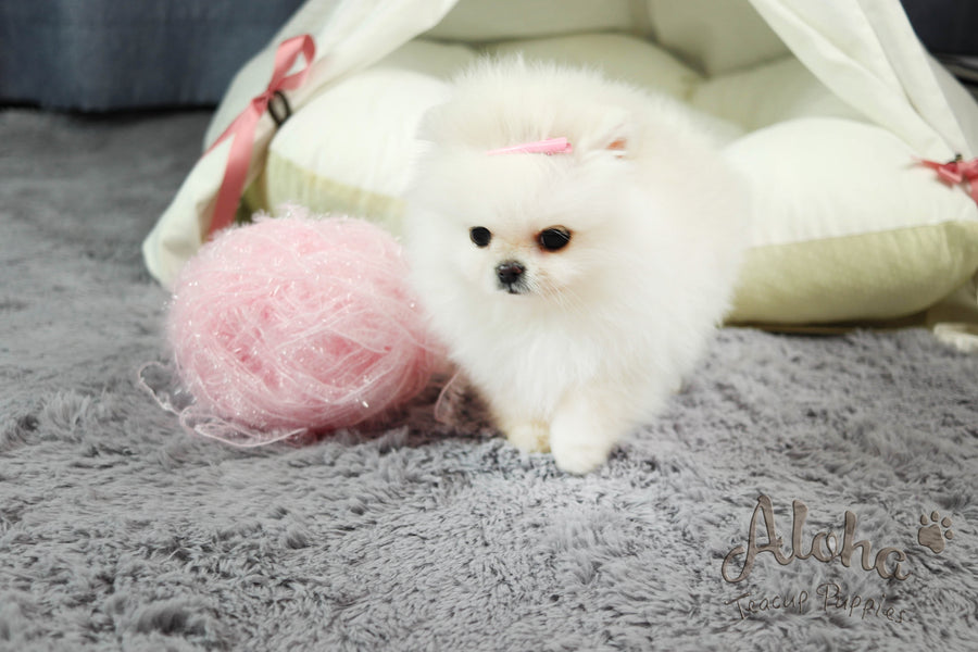 Sold to Nelly , Gucci [Teacup Pomeranian]