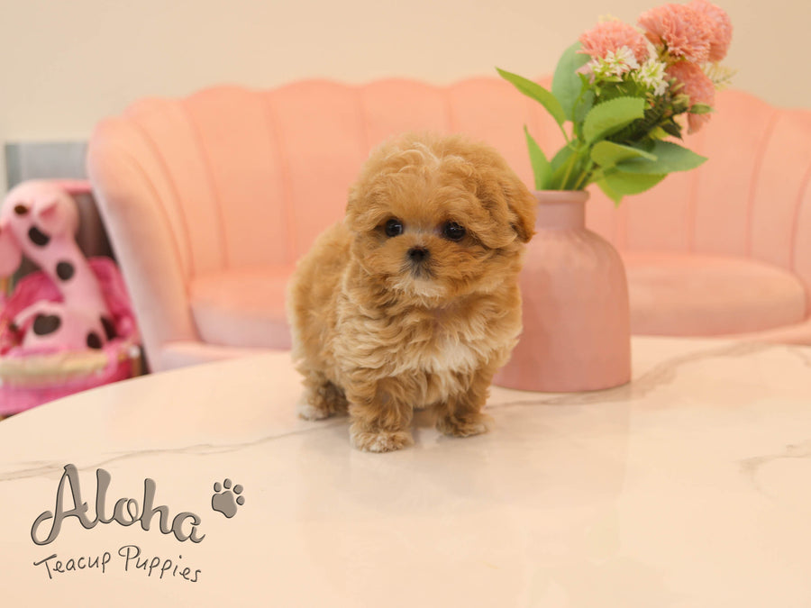 Butter [TEACUP MALTIPOO]