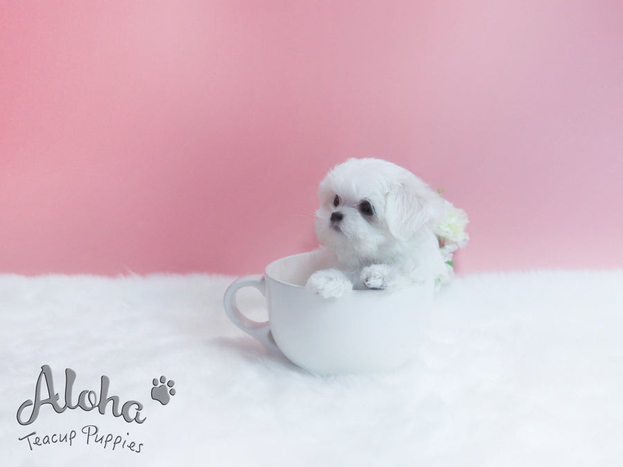 Sold to Destiny, Minnie [TEACUP MALTESE]