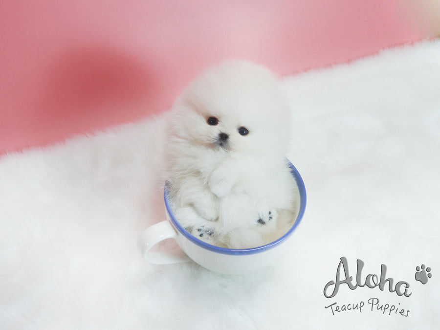 Sold to sheng, Pepper [TEACUP POMERANIAN]