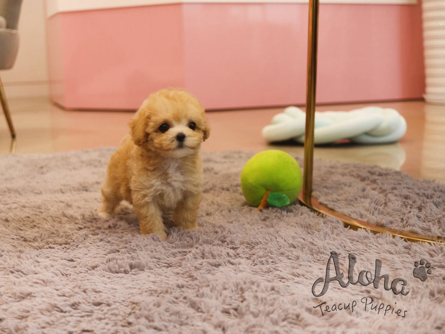 Burberry [TEACUP MALTIPOO]