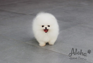 Sold to Katie, Angel [TEACUP POMERANIAN]