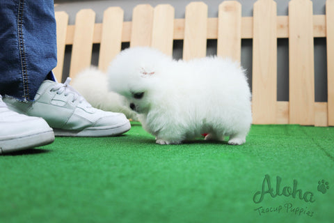 Sold to Jackson, Gummy Bear [Teacup Pomeranian]