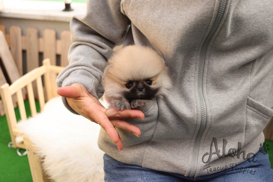 Sold to Timothy, Brownie [TEACUP Pomeranian]