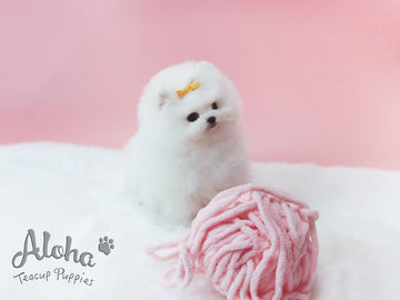 Sold to Michael, Aka [TEACUP POMERANIAN]