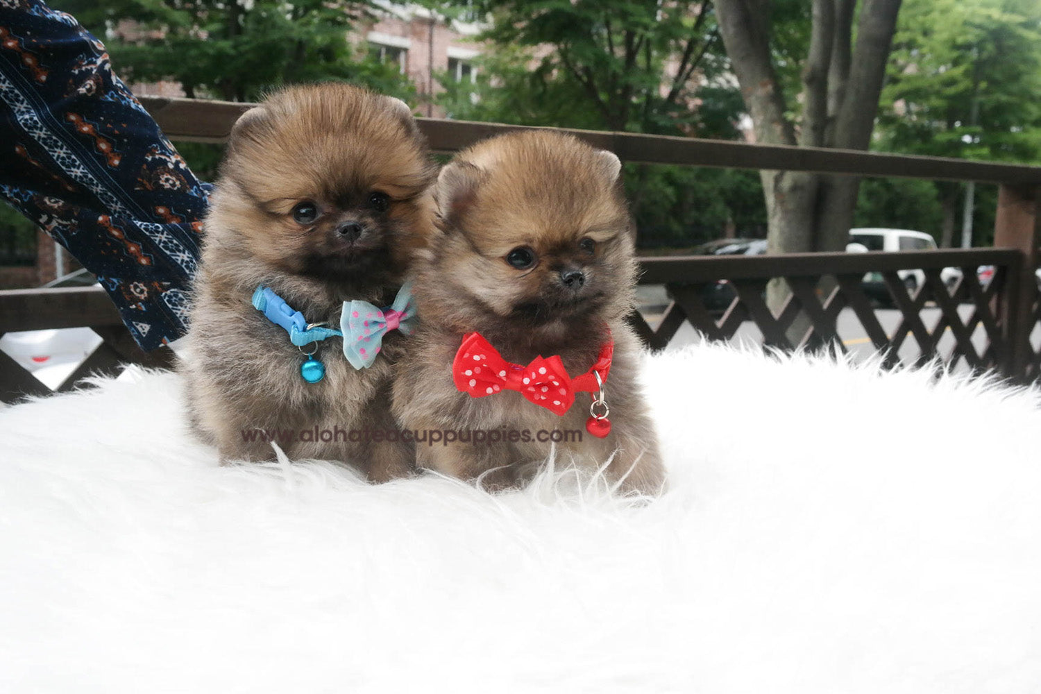 pomeranian collar nicky quot blue collar quot pomeranian aloha teacup puppies 6920