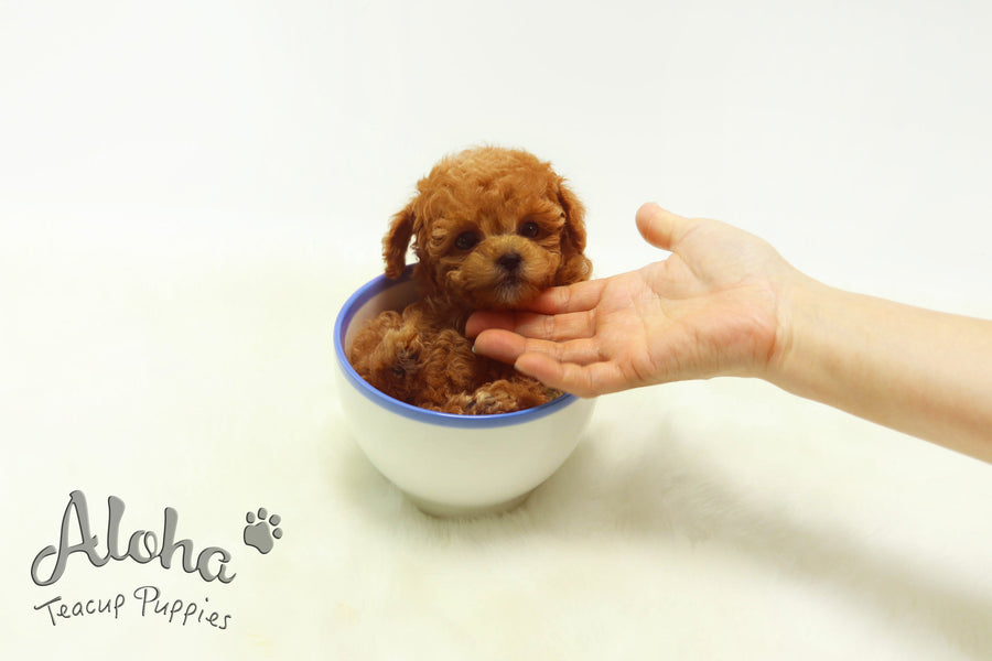 Sold to Laura, Strawberry [TEACUP POODLE]