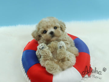 Sold to Lynn, Pie [TEACUP MALTIPOO]