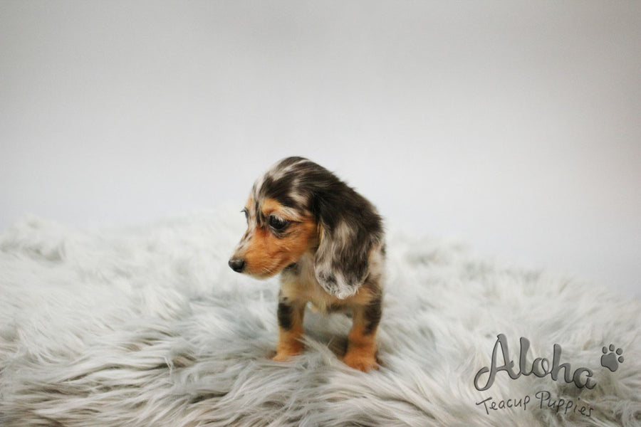 Levante [TEACUP Dachshund]