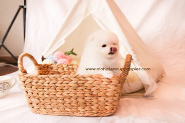 Phoebe - [Pomeranian] - Sold to Jason Chen
