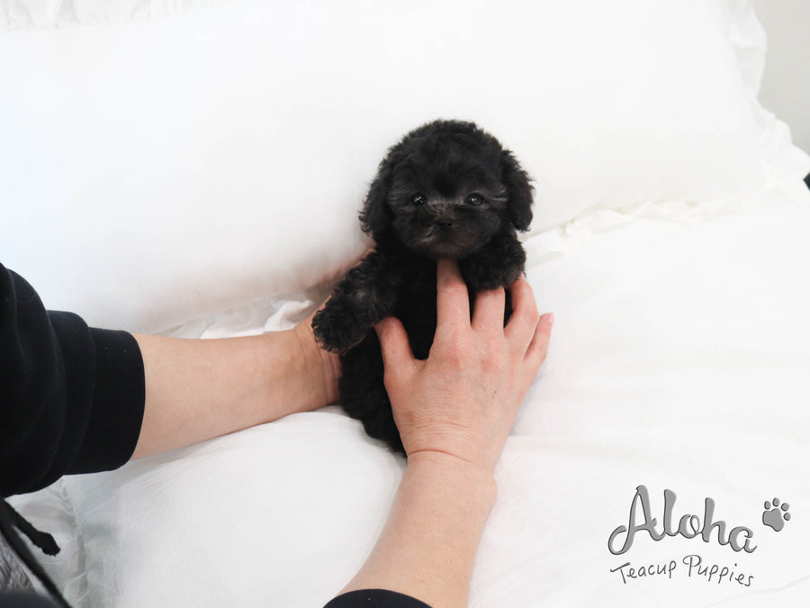 Bella [TEACUP POODLE]