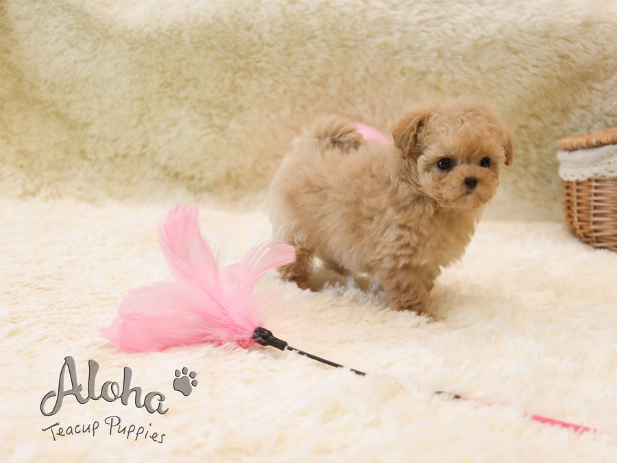 Rose [TEACUP POODLE]