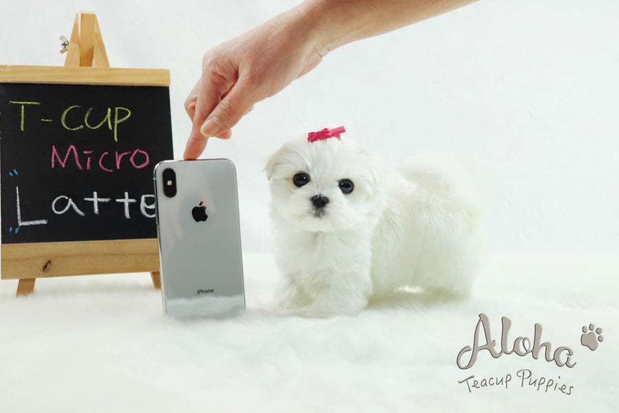 Sold to Kaitlyn, Latte [Teacup Maltese]