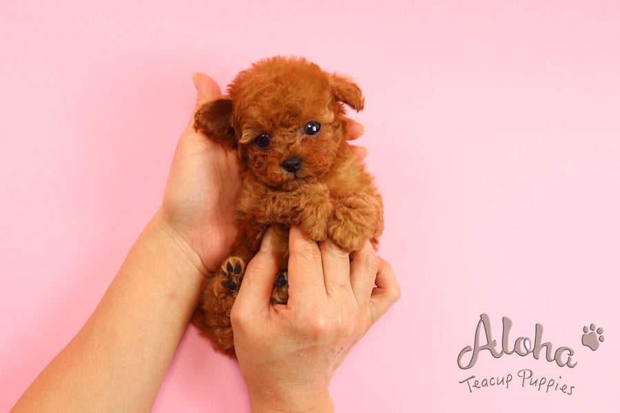 Sold to Anita, CHANEL [Poodle]