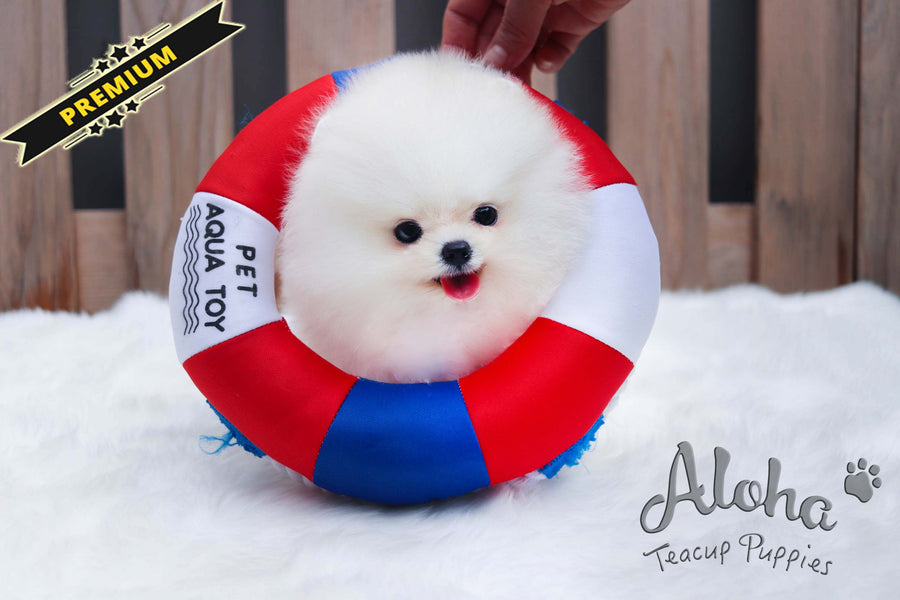 Sold to Carlos, Lola [Teacup Pomeranian]