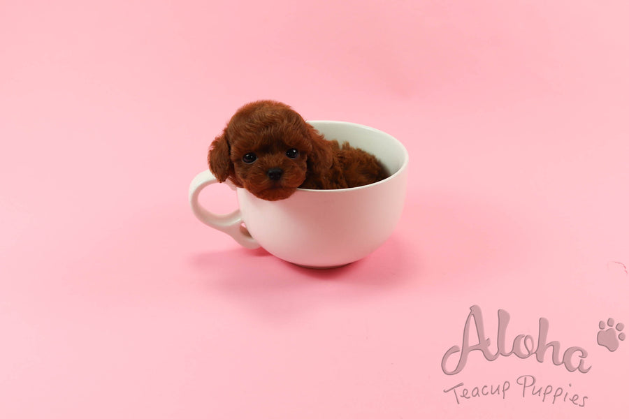 Sold to Jill, CORA [Teacup Poodle]