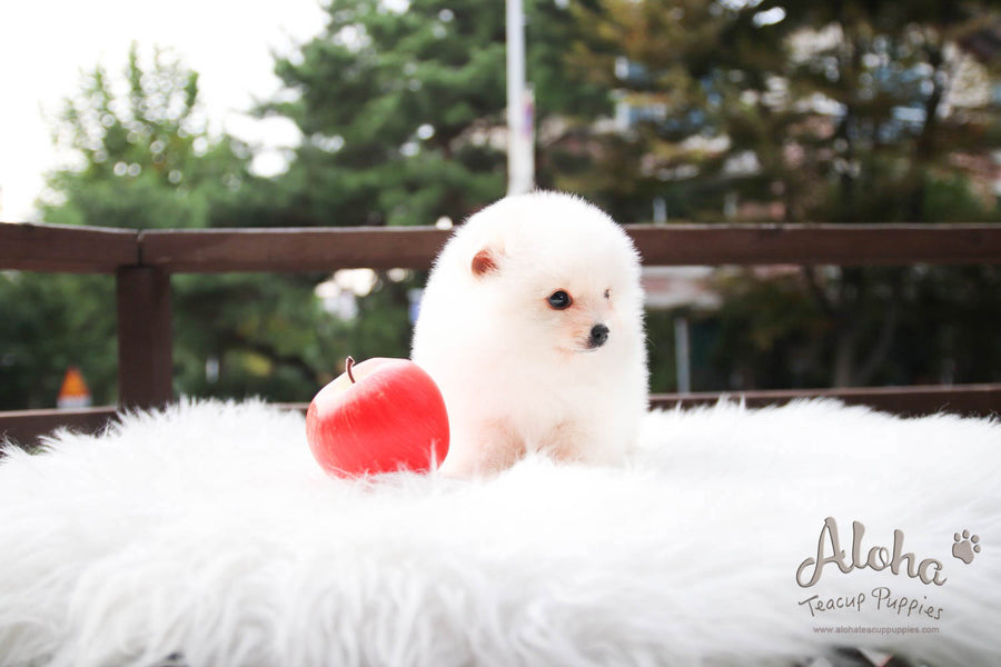 Kiko - [Pomeranian] - Sold to Shirin Lak