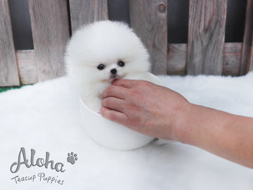 Sold to Ania, Valentine [TEACUP POMERANIAN]