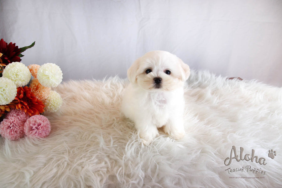 Lucky - [Maltese] - Sold to Beth De Campos