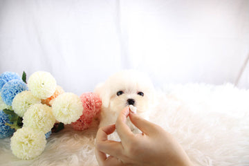 Sold to Rhiannon, Lilly [TEACUP Maltese]