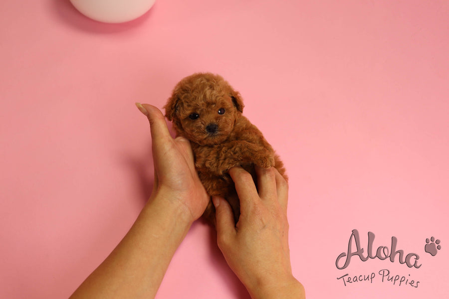 Sold to Diana, JELLY [TEACUP MALTIPOO]