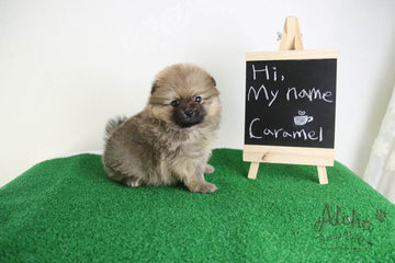 Caramel - [Pomeranian] - Reserved by Candide Monette