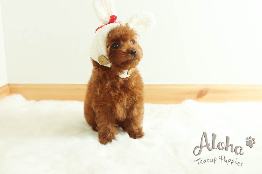 Sold to Camila, CAPTAIN - [Teacup Poodle]