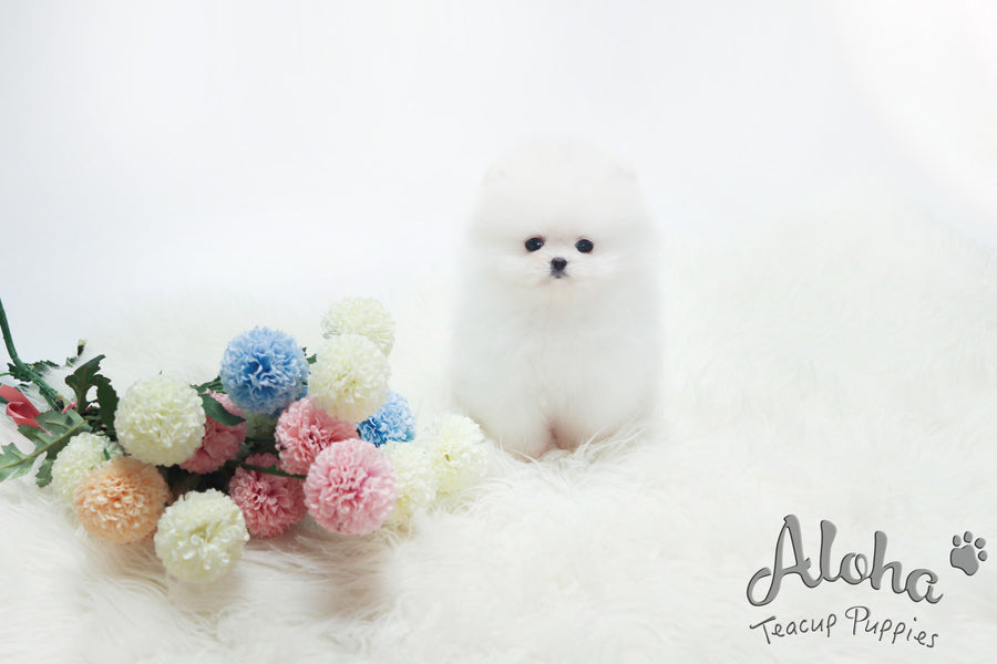Sold to Carmen, Bubble [TEACUP POMERANIAN]