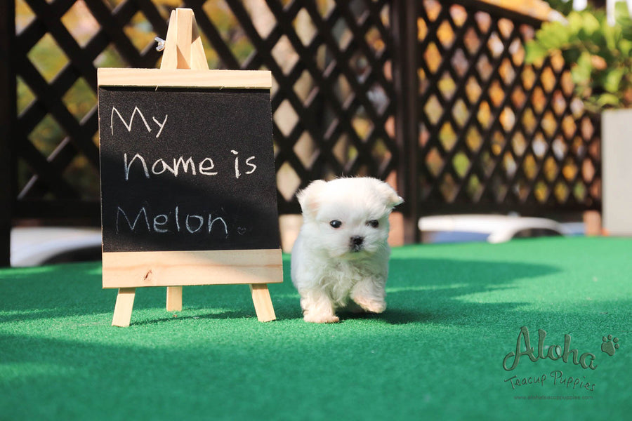 Melon [Teacup Maltese]