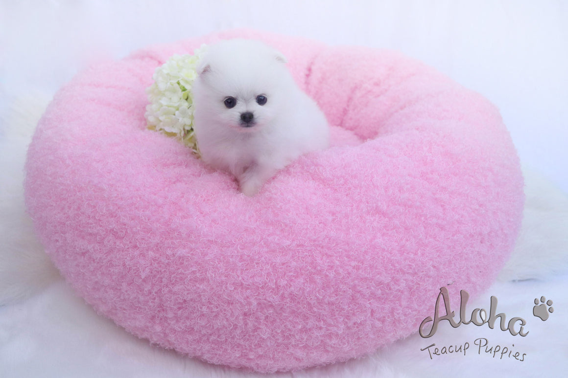 Sold to T, DAISY - [Teacup Pomeranian]
