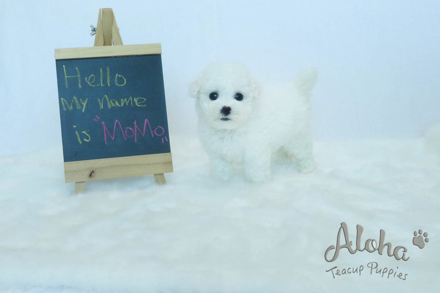 Sold to Amanda, MOMO - [Teacup Bichon]
