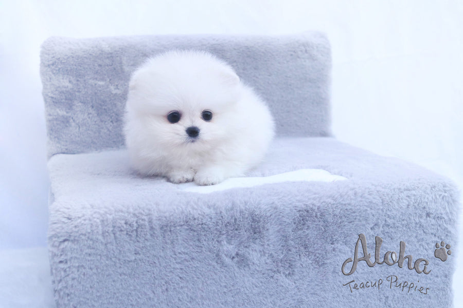 Sold to Eric, LILY - [Teacup Pomeranian]