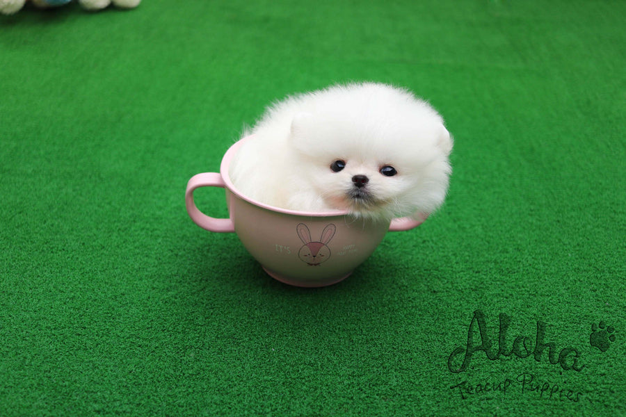 Sold to Sana, Dior [TEACUP POMERANIAN]