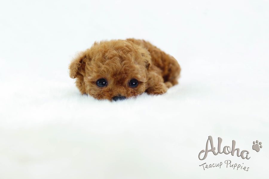 Sold to Andrea, THEO [TEACUP POODLE]
