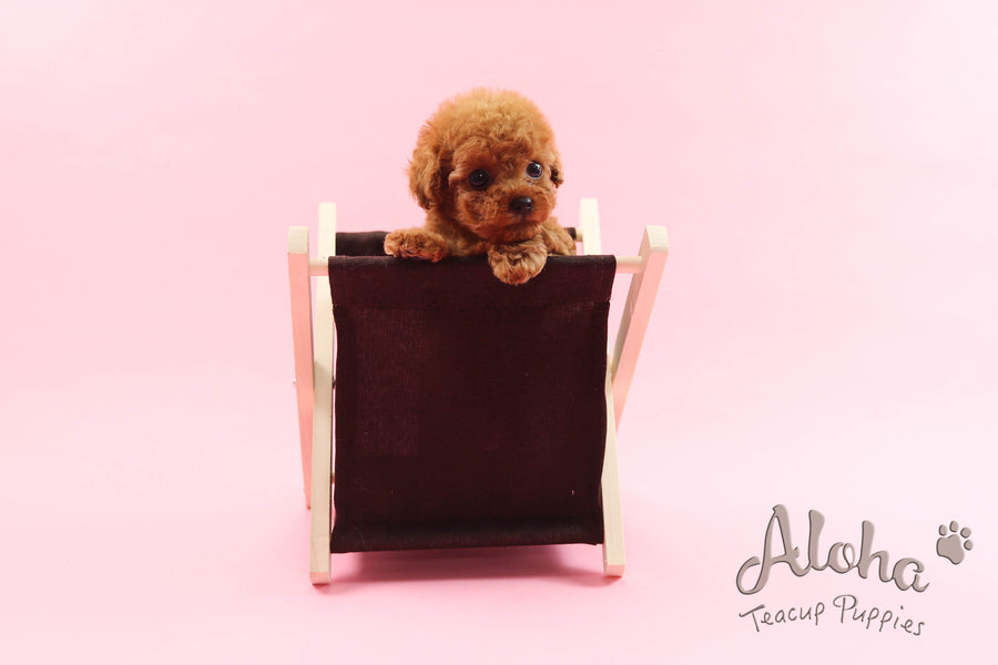 Sold to Victoria, Ruby [Teacup Poodle]
