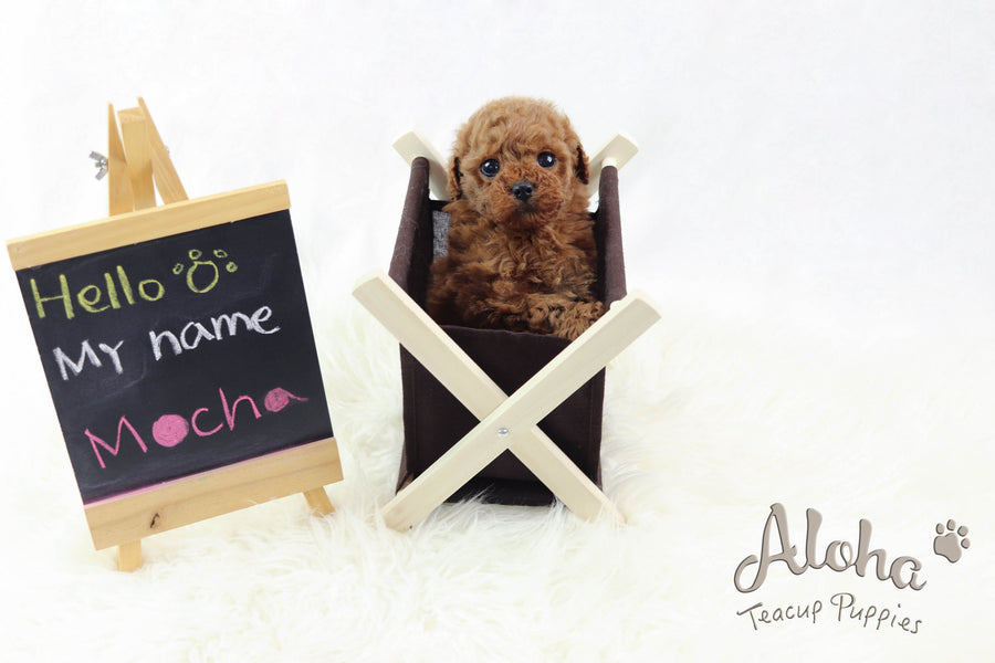 Sold to Jamie, Mocha [TEACUP POODLE]