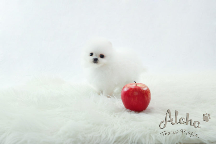 Sold to Dyana, LONDON [TEACUP POMERANIAN]