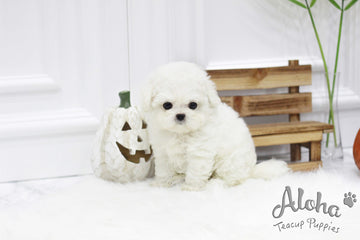 Sold to June, Cindy [TEACUP BICHON]