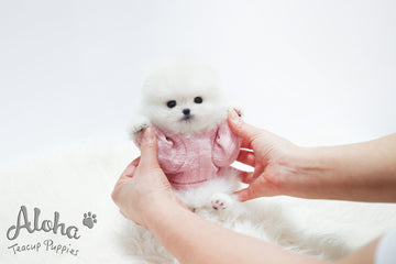 Sold to Samier, Merry [TEACUP POMERANIAN]