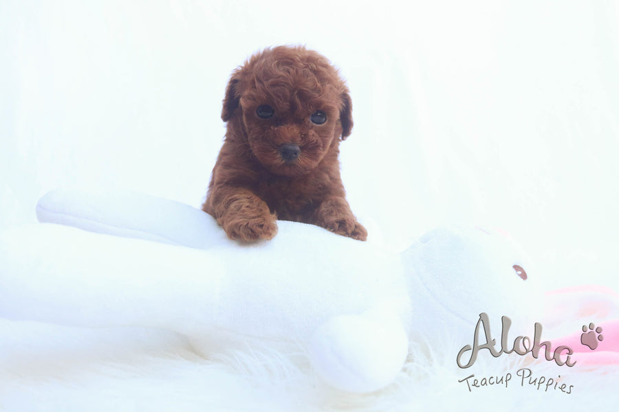 Sold to Xiao, BUDDY [Poodle]