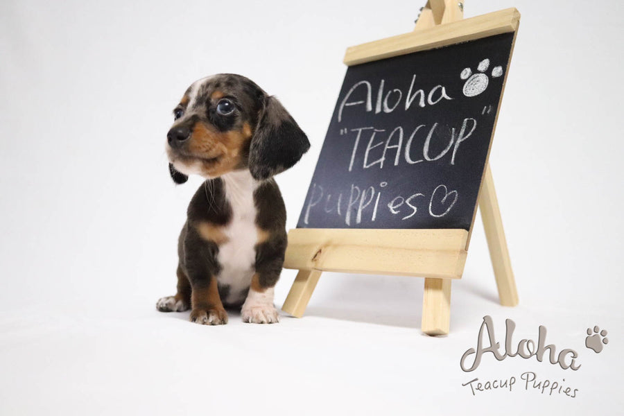 Sold to Eva, BELLA - [Teacup Dachshund]